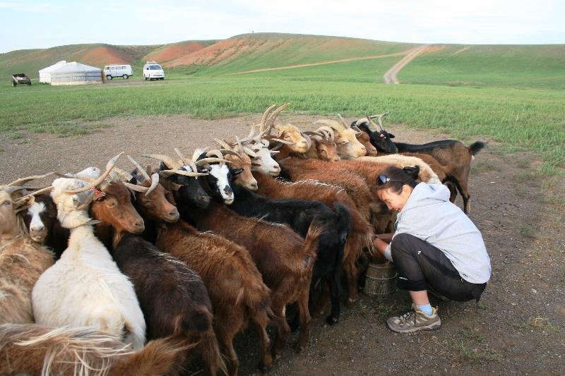 mongolia-mungitura-delle-capre